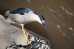 Black crowned night heron (marensr) Tags: nycticorax black crowned night heron bird rock chicago river water fishing nature ronan park