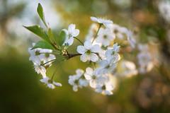 Cherry blossom (master Doratan) Tags: spring blossom cherry flower garden may white macro