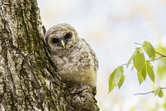 lean to (kallo39) Tags: barredowl owl owlet