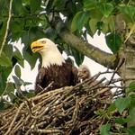 Eaglet ! thumbnail