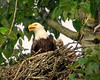 Eaglet ! (Reva G) Tags: eagle baldeagle eaglet chick baby nature wildlife northvancouver northshore harbourside nest family parent