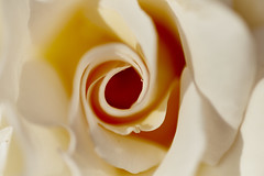 Dew drops / Gotas de rocío (jdelaobra) Tags: dew drop rocío rose flower blossom rosa flor floración spring primavera macro macrophotography macrofotografía canon6d canoneos6d tokina100mmf28macro tokinaatxpro