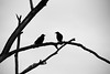 the schemers (bluechameleon) Tags: sharonwish barebranches birds bluechameleonphotography branches crows curves lines silhouette textures tree blackandwhite