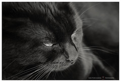 Nero (GP Camera) Tags: nikond80 nikonafsdx1855mmf3556gvr animali animals cat gatto black nero soft soffice velvet velluto portrait ritratto eyes occhi details dettagli textures trame shades sfumature focus messaafuoco bokeh sfocato vignetting bw biancoenero monochrome monocromo 1000iso whiteframe cornicebianca italy italia piemonte monferrato darktable gimp opensource freesoftware softwarelibero digitalprocessing elaborazionedigitale littledoglaughednoiret