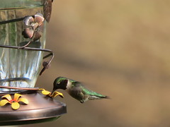 IMG_5079 hummingbird (jgagnon63@yahoo.com) Tags: may deltacountymi bramptontownship bird wildlife wildanimals