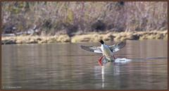 CommonMerganser_6D_3180 (CrzyCnuk) Tags: merganser commonmerganserwaterfowl birds bowriver bowvalley bif