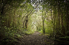in the forest (CNorthExplores) Tags: trees tree forest tunnel path dirt trail hiking outside hawaii oahu walk woods nature green explored