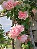 Rosas en el Parque Cervantes - Barcelona (Luisa Gila Merino) Tags: jardín rosal rosa nubes primavera airelibre cielo