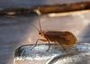Caddisfly - Chaetopteryx villosa (andrewkirby255) Tags: caddisfly stokeabbott