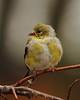 American Goldfinch, Spinus tristis (jlcummins - Washington State) Tags: yakimacounty backyardbirds washingtonstate bir fauna nature tamronsp150600mmf563divcusd canon spinustristis