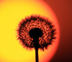 Blowing in the sun (Robyn Hooz) Tags: dandalion sunrise sorgere sole tarassaco dentedileone stelo soffio blow orange arancione