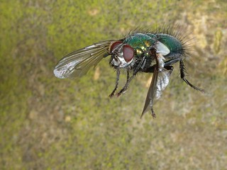 Rolf_Nagel-Fl-0332-Gymnocheta_viridis