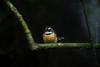Little fantail on Outram Glen 24.03.2018 - Thanks to Wellness Walker Trust for the lovely walk (talaan) Tags: newzealand otago annguyen bird dunedin dunedinwalk fantail lisastrip nature outramglen place wellnesswalkers