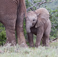 baby Elephant watching me (jimbobphoto) Tags: africa elephant baby animal ear wrinkles