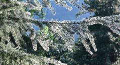 Nature frocks a fir tree (maytag97) Tags: maytag97 nikon d750 tree branch fir pine needle natural nature closeup cottonwood seed bokeh bough