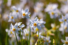 (Alin B.) Tags: alinbrotea nature spring april flower scent narcissus narcise