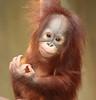 orangutan Hujan Krefeld BB2A6031 (j.a.kok) Tags: orangutan orangoetan orang animal aap ape krefeld hujan mammal monkey mensaap primaat primate asia azie