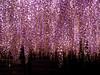 フジ(藤 : Wisteria floribunda) (eriko_jpn) Tags: wisteria wisteriafloribunda purpleflower buddhisttemple