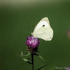 piéride du chou (1) (Ezzo33) Tags: france gironde nouvelleaquitaine bordeaux ezzo33 nammour ezzat sony rx10m3 parc jardin papillon papillons butterfly butterflies piéride du chou