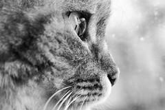 Spherical Eye (raffaella.rinaldi) Tags: macro animal cat eye whisker nose cute window