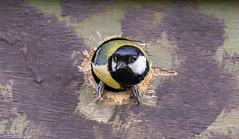 Great Tit At Home (Steve (Hooky) Waddingham) Tags: animal countryside bird british nature wild wildlife garden nest box photography