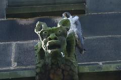 IMG_1493 (superbradphotos) Tags: peregrine falcon eyass tiercel peregrinejuvenile raptors falcons birdsofprey predators superbrad superbradphotos ianbradley stmaryschurch theparishchurchofsaintmaryeastwoodnottinghamshire eastwood nottinghamshire