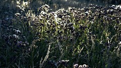 Acker-Kratzdisteln (Cirsium arvense); Bergenhusen, Stapelholm (5) (Chironius) Tags: stapelholm bergenhusen schleswigholstein deutschland germany allemagne alemania germania германия niemcy blüte blossom flower fleur flor fiore blüten цветок цветение asterids campanuliids asternartige asterales korbblütler asteraceae carduoideae cynareae frucht fruit frutta owoc fruta фрукты frukt meyve buah gegenlicht