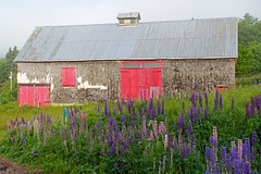 DSC00605 - Barn Stop... (archer10 (Dennis) 141M Views) Tags: sony a6300 ilce6300 18200mm 1650mm mirrorless free freepicture archer10 dennis jarvis dennisgjarvis dennisjarvis iamcanadian novascotia canada glooscaptrail lupins barn fiveislands fundy