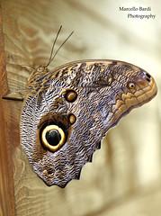 Caligo idomeneus (guitarmargy) Tags: butterfly macro bugshot nature wildlife insect artropodi nymphalidae farfalla closeup fauna testadigufo marcellobardi canon