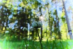 Forest is behind you (jaaselin) Tags: valkoapila trifoliumrepens suomi finland kukka flower forest metsä koli hattusaari lieksa pielinen luontokuvaus luonnonkukkia naturephotography nature northern sonyrx100 koivuja birches mäntyjä pines
