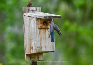 Bluebird Female Feeding