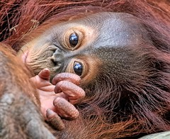 Babe in Arms (Darts5) Tags: orangutan orangutans primate primates babyorangutang animal nature 7d2 7dmarkll 7dmarkii 7d2canon ef100400mmlll closeup canon7d2 canon7dmarkll canon7dmarkii canon canonef100400mmlii