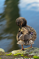 28/52Weeks At 55mm (Lyndon (NZ)) Tags: week282018 52weeksin2018 weekstartingmondayjuly092018 2852 bird duck nature ilce7m2 animal sony texture feather