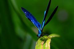 Bleue . (jpto_55) Tags: odonate calopteryxvirgo bleu macro bokeh fuji fujifilm xe1 fujixf55200mmf3548rlmois hautegaronne france