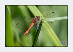 1O7A3423.jpg (kishwphotos) Tags: naturalworld ruddydarter wildlife dragonfly nature walpolepark parks insect attractions naturalhistory geology