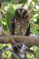 African Wood Owl (arthurpolly) Tags: avian avianexcellence abigfave africa africanwoodowl owl birds beautiful canon 7dmk2 100400is eos elements13 exotic nature natureselegantshots nationpark abuko abukoricefields photoshop wildlife gambia