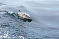 Common Dolphin in flight (ejwwest) Tags: hebrides dolphins scotland whalewatch argyllandbute minkewhales mull tobermory sealifesurveys unitedkingdom gb