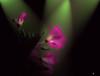 blühende Geranie (K-PIXEL-N) Tags: blume geranie licht spot pflanze beleuchtung