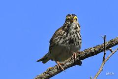 Savannah Sparrow (jt893x) Tags: 150600mm bird d500 jt893x nikon nikond500 passerculussandwichensis savannahsparrow sigma sigma150600mmf563dgoshsms songbird sparrow thesunshinegroup coth5