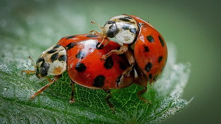 Asiatische Marienkäfer (Harmonia axyridis) bei der Paarung