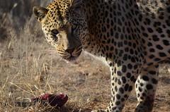 DSC_4264 (Andrew Nakamura) Tags: namibia africa windhoek wildlife animal mammal felidae bigcat leopard africanleopard felid naankuse wildlifesanctuary