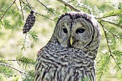 Barred Owl (Penny Hall Photography) Tags: barredowl owls pennyhallphotography portalbernibc birdsofportalberni sonyrx10m4 nationalgeographic strixvaria