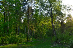 Mixed stand of the forest-steppe zone (МирославСтаменов) Tags: russia togliatti forest glade birch linden pine