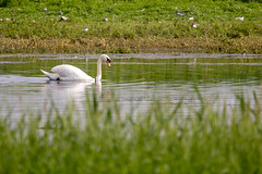 Mute Swan (oandrews) Tags: animal bird birds canon canon70d canonuk cygnusolor muteswan nature naturereserve northamptonshire outdoors summerleys swan wildlife wildlifetrusts wildlifebcn wollaston england unitedkingdom gb