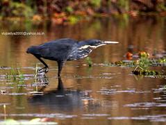 IMG_0559 Black Bittern (Dupetor flavicollis) (vlupadya) Tags: greatnature animal aves fauna indianbirds black bittern dupetor malyadi karnataka