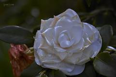 Dia 283 (gedaesal) Tags: whiteflower closeup canon700d sigma105mmf28macro colors details gedaesalgmailcom ngc