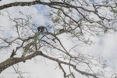 Monkey in a tree at Rio Guayabero (Hannes Rada) Tags: colombia lamacarena rioguayabero monkey