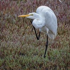 eastern great egret (Fat Burns ☮) Tags: easterngreategret ardeamodesta waterbird bird australianbird fauna australianfauna egret buckleyshole bribieisland nikond500 sigma150600mmf563dgoshsmsports