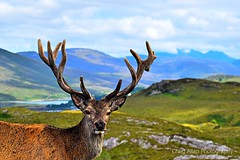 Lochcarron Life (CraigAllanPhotography) Tags: work nc500 north coast nc wick catihness lochcarron applecross summer scotland 2018 2017 stag deer roe antlers skye dingwall inverness sunny blue skys torridon thurso highlands scenic sunset