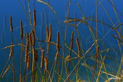 1-Collage161-001 wildgrass in the evening sun, parco Increa (profmarilena) Tags: wildgrass macro closeup artwork collage profmarilena